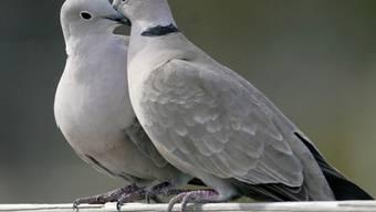 Die französische Regierung hat eine Abschussquote für Turteltauben festgelegt. In der Jagdsaison 2019/2020 dürfen landesweit nur noch 18'000 Turteltauben geschossen werden. Zuvor hatten französische Jäger fünfmal so viele Vögel gejagt. (Archivbild)