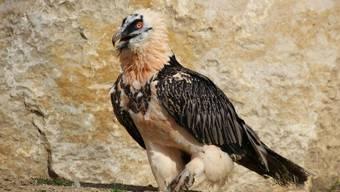 Der am Montag angekommene Helios bei der Erkundung des Geheges im Tierpark de la Garenne in der Waadt.