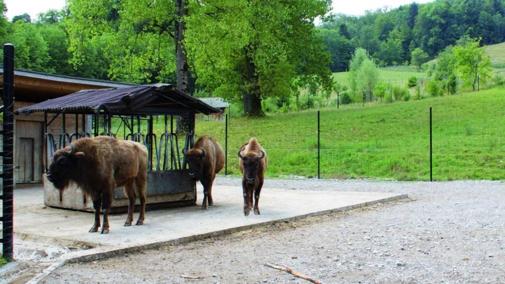 Drei Wisent-Kühe vor ihrer Abreise aus dem Zürcher Wildnispark Langenberg in den Basler Tierpark Lange Erlen.