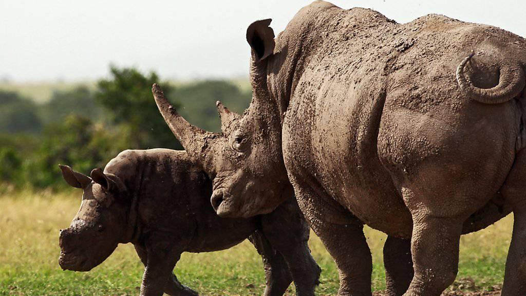 Nashorn mit Kalb in Kenia: In Namibia werden erneut Lizenzen für die Erschiessung von dreien der bedrohten Tiere. (Archivbild)