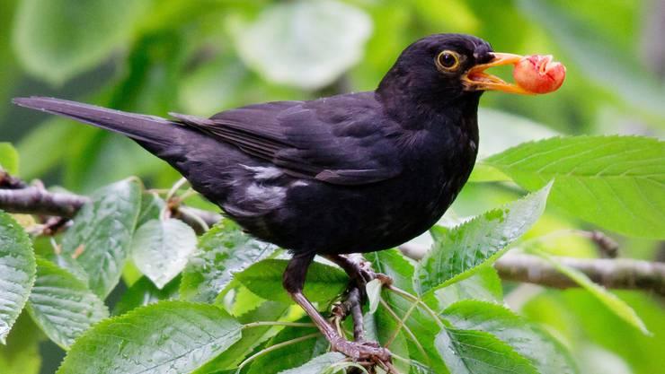 «Häufige Arten wurden häufiger, das betrifft vor allem Amsel und Buchfink.» (Symbolbild)