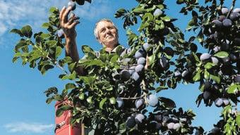 Obstbauer Konrad Vogt prüft seine Tophit-Zwetschgen. Es ist eine der Sorten, die er in den kommenden Wochen ernten wird. Bereits geerntet sind «Cacaks Schöne».