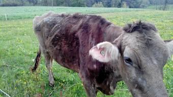 So sahen die Kühe auf dem Boninger Bauernhof aus