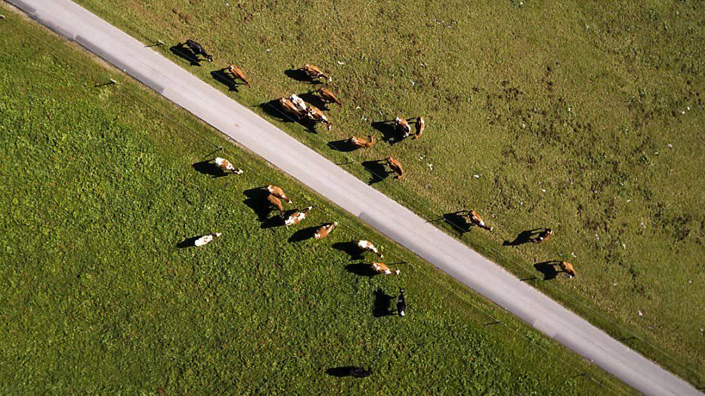 Hirte in Schwierigkeiten: Eine ukrainische Kuherde ist nach Weissrussland ausgebüxt und hat ihrem Hirten eine Festnahme beschert. (Symbolbild)