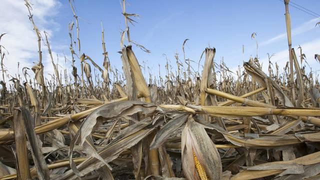 Eine Dürre vernichtete einen grossen Teil der Maisernte in den USA (Archiv)