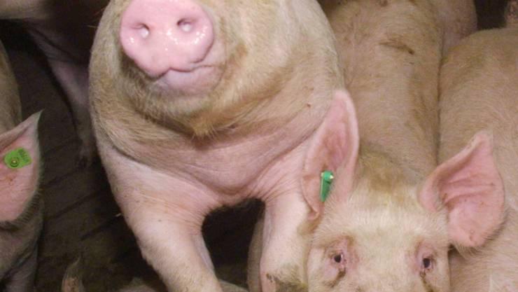 Ein Schweinemastbesitzer ist vom Vorwurf der vorsätzlichen Übertretung des Heilmittelgesetzes freigesprochen worden, obwohl er seinen Tieren Antibiotika verbotenerweise nach Abschluss der Mast verabreicht hatte. Die Verurteilung wegen Tierquälerei wurde aber bestätigt.