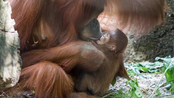 Am 7. August hat Orang-Utan Maia (11) ein Junges geboren. Ihre Tochter erhielt den Namen «Padma».