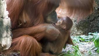 Nachwuchs bei den Orang-Utans im Zoo Basel