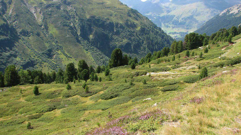 Die Arve wächst zwischen 1500 und 2500 Metern Höhe in den Alpen und bildet einen wichtigen Lebensraum.