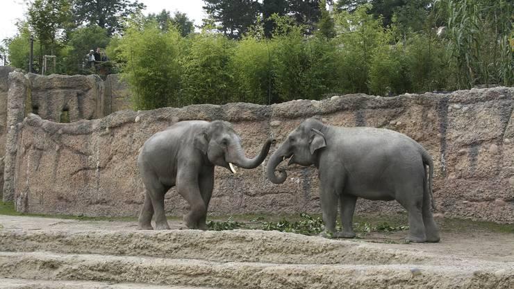 Elefantendame Farha und der Bulle Thai erwarten Nachwuchs.