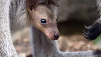 Ein Rothals-Känguru späht aus dem Beutel der Mutter. In Australien ist der Bestand an einheimischen Wildtieren innert 20 Jahren um 40 Prozent zurückgegangen. Ohne Schutzmassnahmen wären es aber sogar 60 Prozent weniger. (Archivbild)