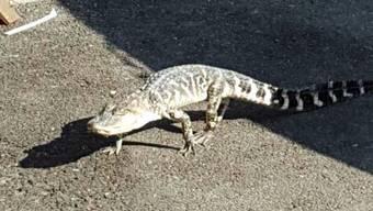 In Florida sind zwei Männer festgenommen worden, weil sie einen Alligator zum Bierkonsum nötigten. Alligatoren sind in Florida oft in Wohngebieten unterwegs. (Symbolbild)