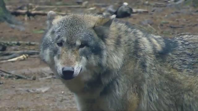 SVPler Knutti möchte Wolf ausrotten