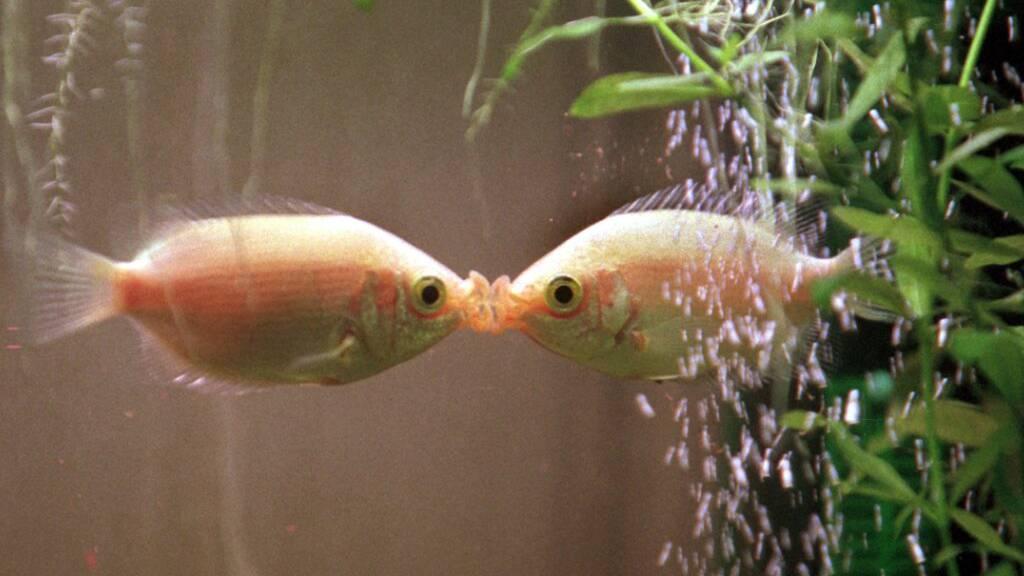 Aquarienfische sterben wegen falscher Haltung