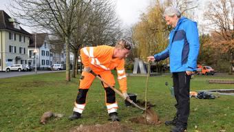 Jonas Stucki, stellvertretender Leiter der Abteilung Werkdienst (links), pflanzt die Linde im Beisein von Peter Haudenschild.