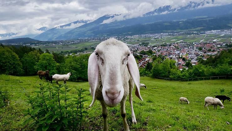 An der Weltmeisterschaft der Schafscherer nehmen über 300 Bauern aus 34 Ländern teil. (Symbolbild)