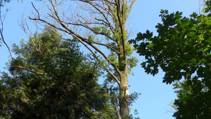 Eine kranker, von der Eschenwelke betroffener Baum.