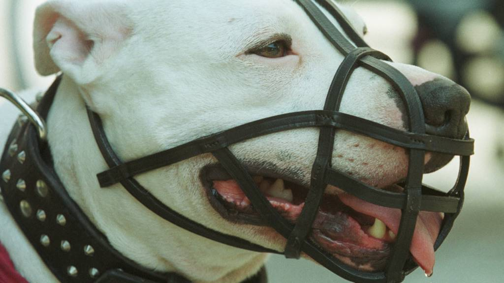 Argentinische Dogge und Halter müssen nicht in den Hundekurs