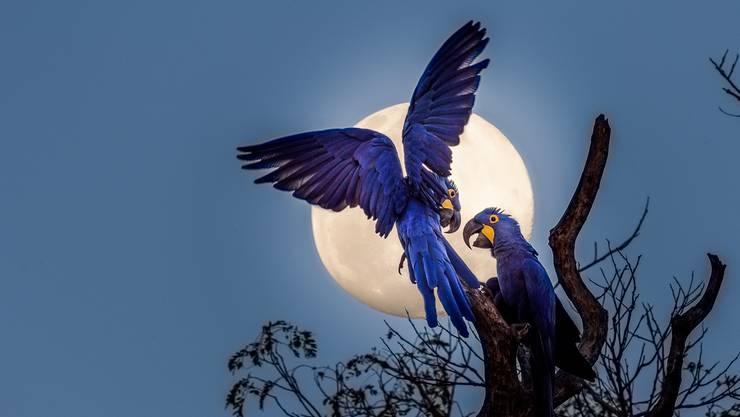 Hyazinth-Aras sind mit einer Länge von rund einem Meter die grösste aller Papageienarten.