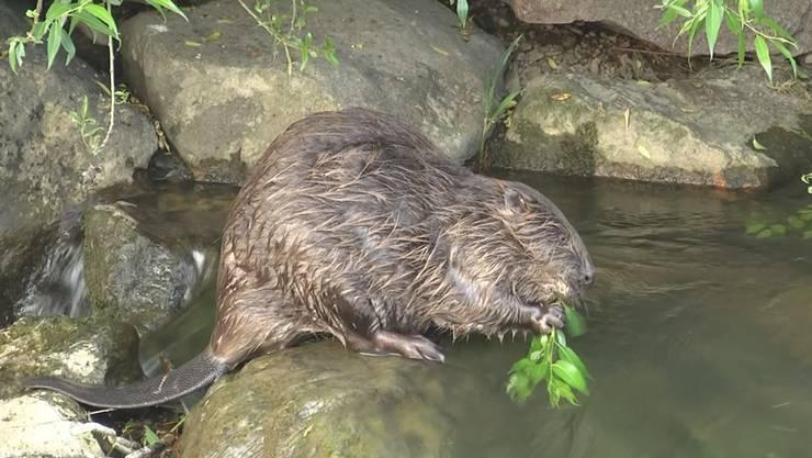 Lebensraum Zurzibiet: Der Biber findet in den Flüssen und Bächen ideale Bedingungen vor.