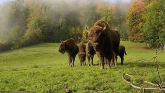 Der Wisent ist die europäische Variante des Bisons. Nun gibt die Bürgergemeinde Solothurn grünes Licht für ein Wiederansiedlungsversuch im Naturpark Thal.