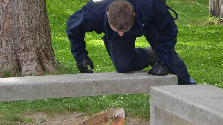 Die Polizei gibt vollen Einsatz, um den entlaufenen Grünen Leguan einzufangen.