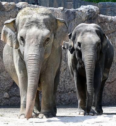 Die Wärterin hat Futter ausgelegt, was die Elefantendamen anlockt.