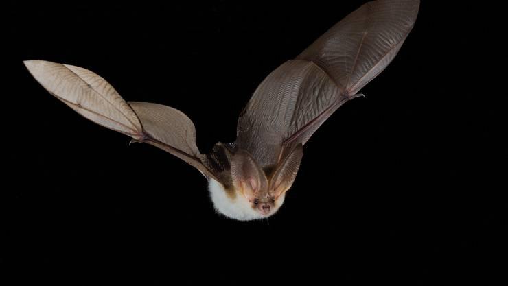 Fledermäuse haben ein hervorragendes Immunsystem: Sie sterben deshalb nicht, wenn ein Virus gefährlich mutiert, sondern können den Virus weitergeben.