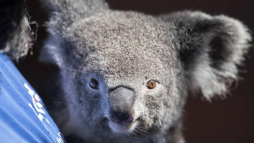 Zoo Zürich: Koalaweibchen Pippa hat erstmals Nachwuchs bekommen