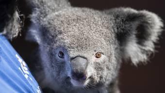 Koala Weibchen Pippa lebt seit März 2018 im Zoo Zürich. (Archivbild)