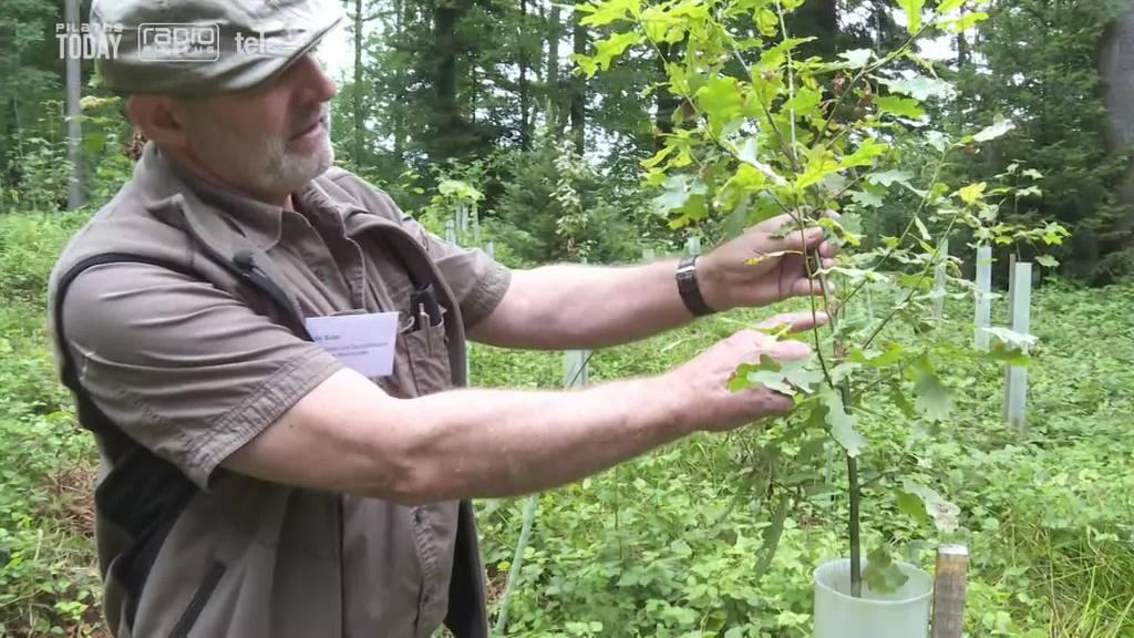 So wird der Luzerner Wald für die Zukunft gerüstet