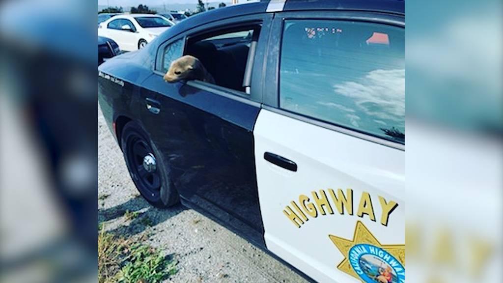 Polizei rettet Baby-Seelöwen