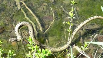 Die Barren-Ringelnatter hält sich gerne am Wasser auf, wie dieses Exemplar zeigt.