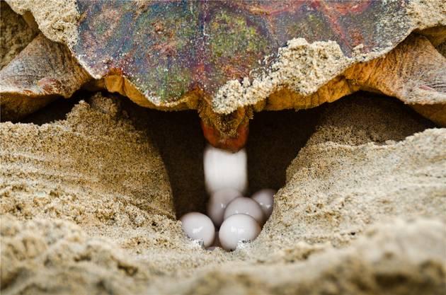 Die Schildkröten legen bis zu hundert Eier.  Reischig