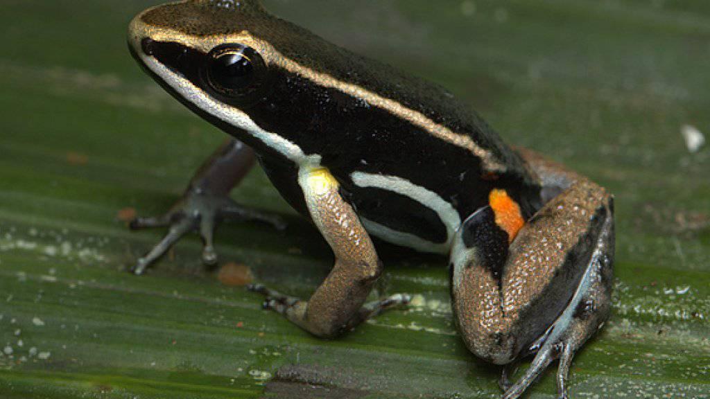 Die Weibchen des Glanzschenkel-Baumsteiger Allobates femoralis gehen nur für den eigenen Nachwuchs ein Risiko ein, um ihn zum nächsten Tümpel zu bringen.