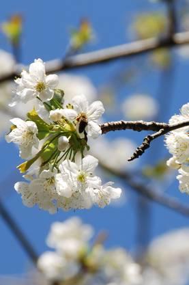 Kirschblüten sind reichhaltige Nektar- und Pollenlieferanten und werden von Bienen, Hummeln und Co. bis in den Mai gerne angeflogen.