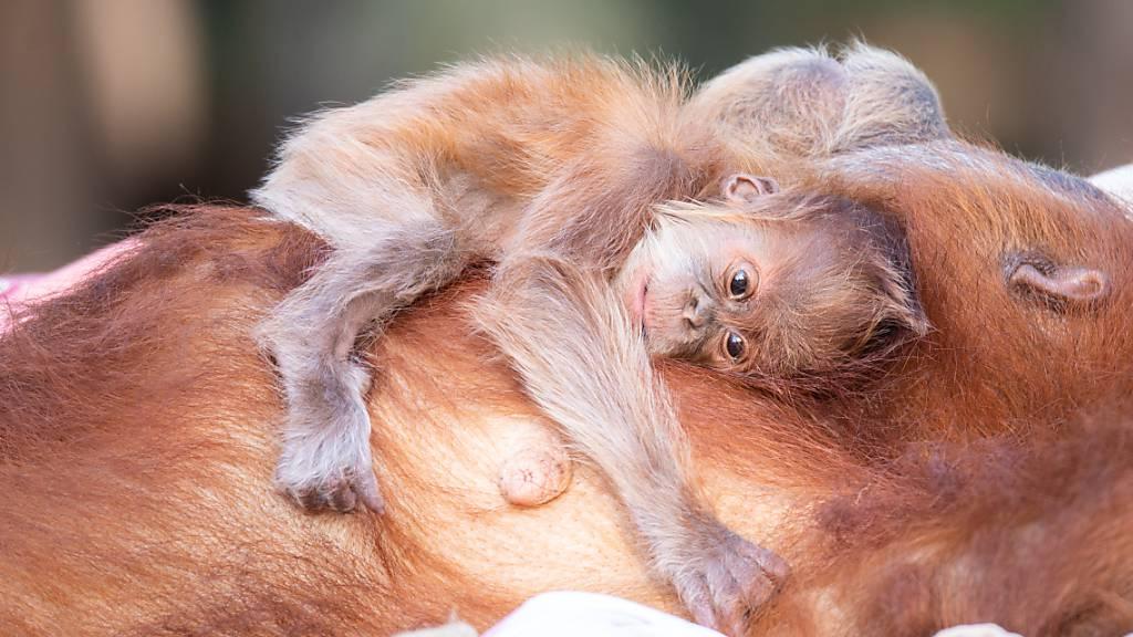 HANDOUT - Auf dem Bauch trägt Orang-Utan-Mutter Tana ihren Nachwuchs. Foto: Michal Levy/Yam Siton/dpa - ACHTUNG: Nur zur redaktionellen Verwendung im Zusammenhang mit der aktuellen Berichterstattung und nur mit vollständiger Nennung des vorstehenden Credits