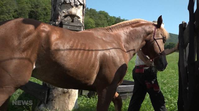 Gesundheitsproblem bei geretteten Pferden?