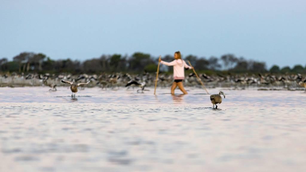 Mehr als 12'000 Flamingo-Küken in Südfrankreich geschlüpft