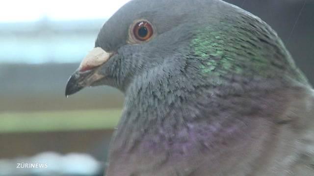 Taubenzüchter wegen Tierquälerei verurteilt