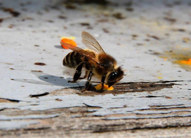 Die Bienen leiden unter dem schlechten Wetter und sind auf Nahrung angewiesen.