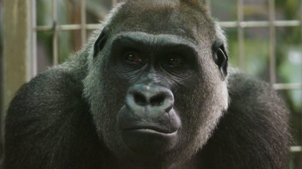 Die Gorilla-Dame Mamitu ist am Donnerstag im Zürcher Zoo eingeschläfert worden. Mamitu war mit 41 Jahren das älteste Weibchen aus der Gruppe Westlicher Flachlandgorillas des Zoo Zürich. (Archiv)