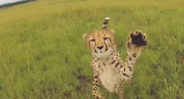 Jetzt schlagen die Tiere zurück: Die besten Drohnen-Attacken von Affe, Gepard & Co.