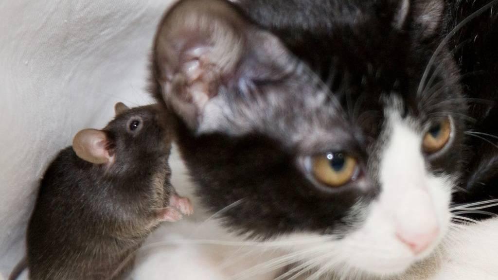 Parasit nimmt Mäusen die Furcht vor Katzen