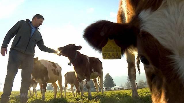Reaktion vom Berner Bauernverband zu der Hornkuh-Abstimmung