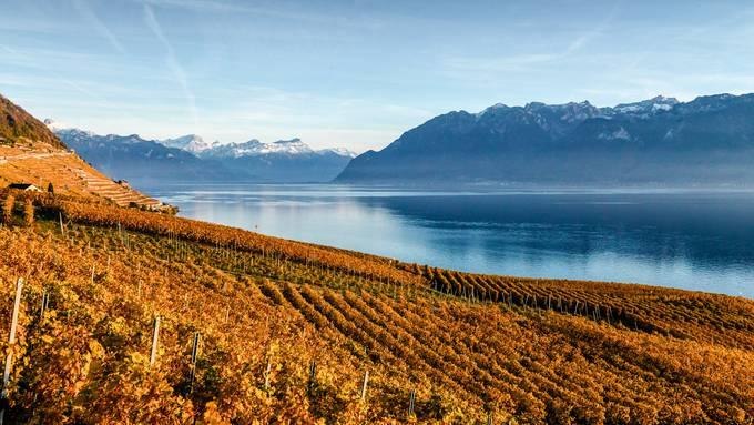 Der Herbst ist die farblich schönste Jahreszeit in den Rebbergen am Genfersee.