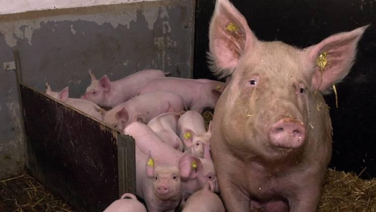 Der Schweinestall wurde bewilligt und nach dem Bau als unrechtmässig beurteilt. (Symboldbild)