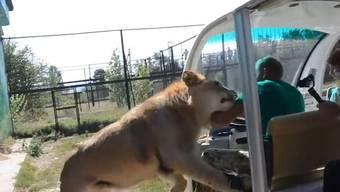 Touristen kommen in einem ukrainischen Safari Park Löwen ganz nahe. Plötzlich passiert Unerwartetes.