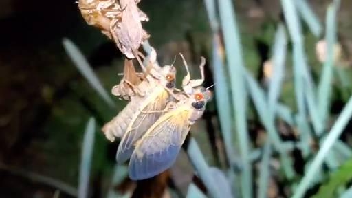 Milliarden Zikaden kriechen ans Tageslicht: Naturspektakel in den USA