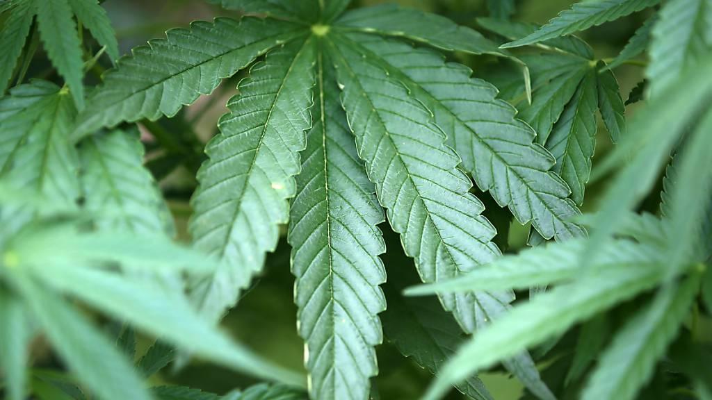 Medizinal-Cannabis kann künftig einfacher verschrieben werden